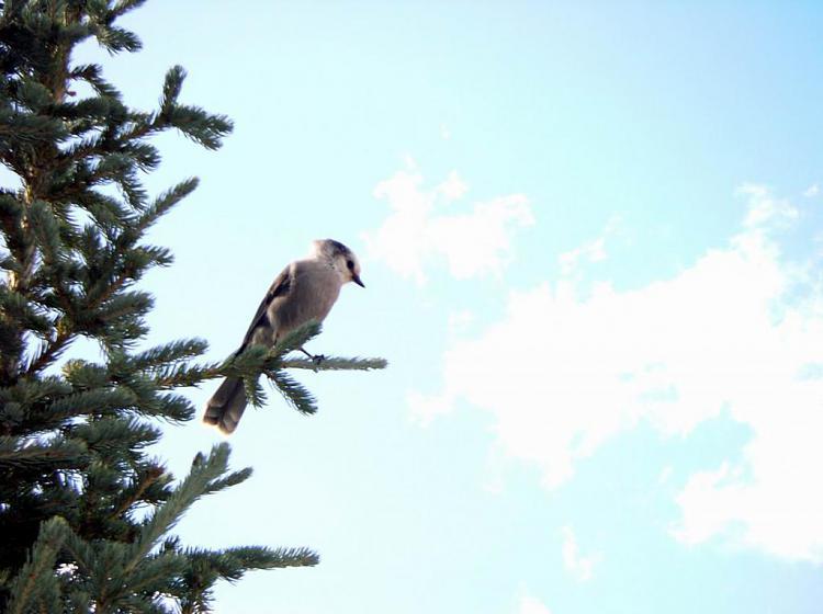 Click image for larger version.  Name:Loggerhead Shrike.jpg Views:4 Size:62.6 KB ID:188719