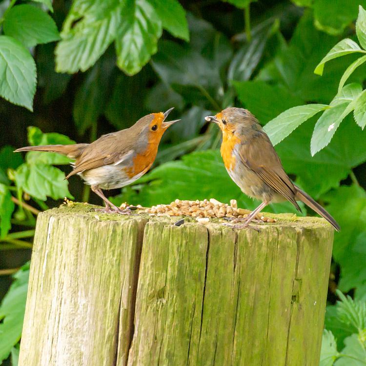 Click image for larger version.  Name:Pair Bonding Robins Feeding Time 02.jpg Views:2 Size:565.7 KB ID:191028
