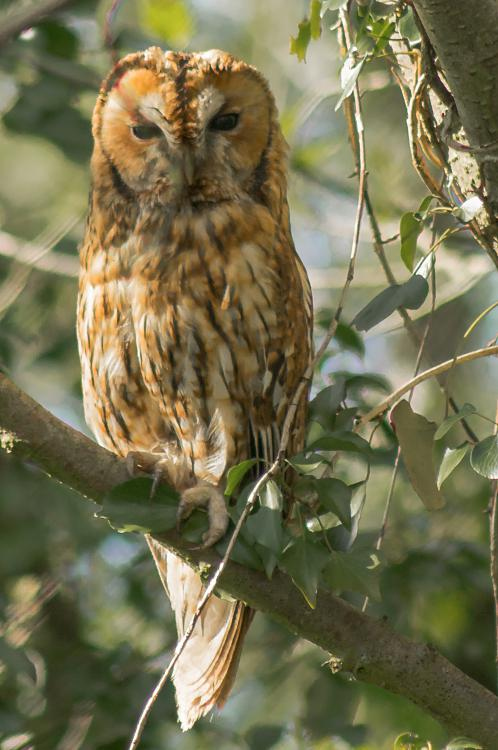 Click image for larger version.  Name:Tawny Owl Mamma Owl 07.jpg Views:3 Size:2.46 MB ID:191030