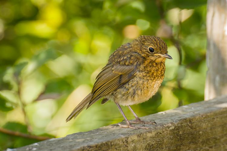 Click image for larger version.  Name:Young Robin Christmas in August #1.jpg Views:2 Size:3.25 MB ID:191031