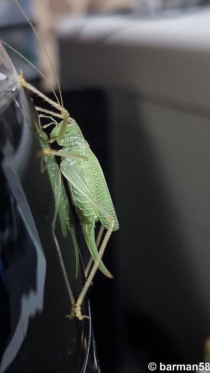 Click image for larger version.  Name:Oak Bush Cricket Oak Bush Cricket.jpg Views:5 Size:2.12 MB ID:198475