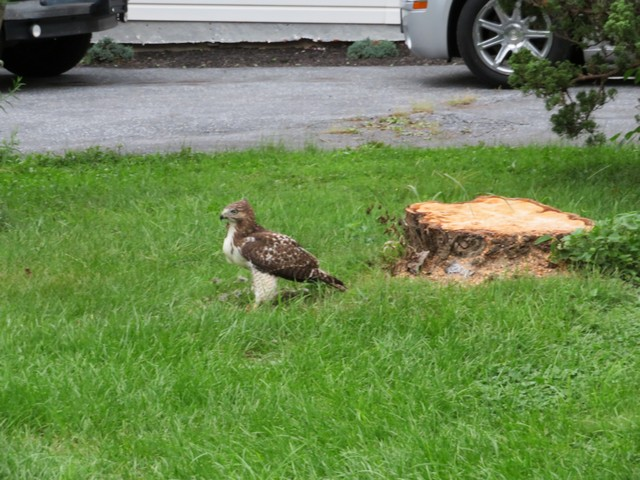 Click image for larger version.  Name:Local Hawk Eating 0907 2018 2.jpg Views:40 Size:125.1 KB ID:202981