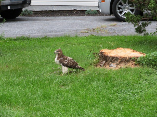Click image for larger version.  Name:Local Hawk Eating 0907 2018 2.jpg Views:39 Size:125.1 KB ID:202981