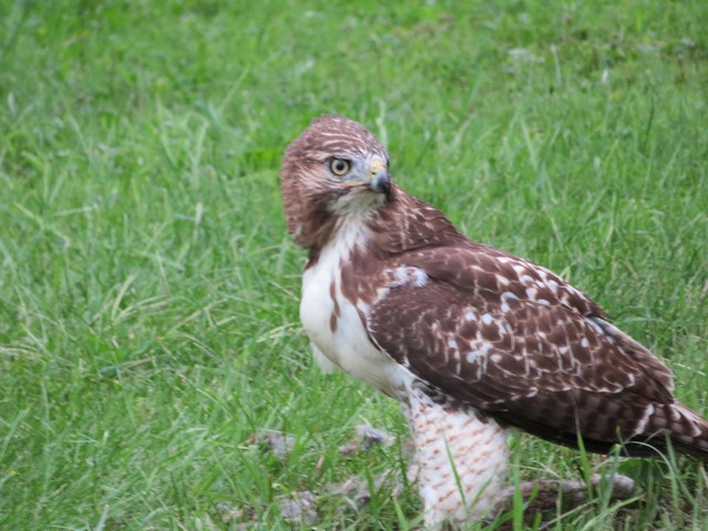 Click image for larger version.  Name:Local Hawk Eating 0907 2018 3.jpg Views:40 Size:113.0 KB ID:202982
