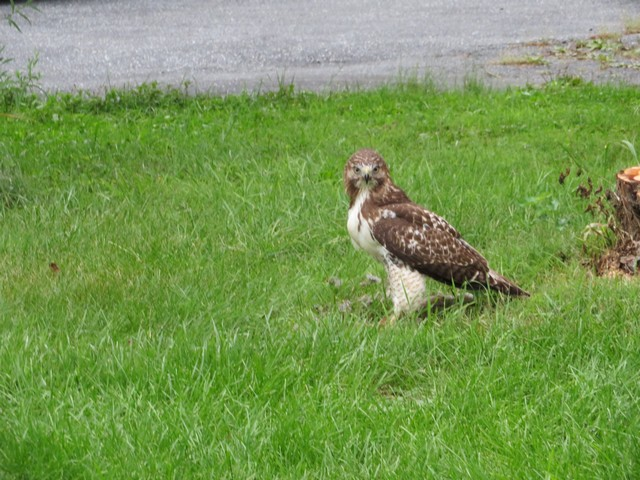 Click image for larger version.  Name:Local Hawk Eating 0907 2018 7.jpg Views:67 Size:133.8 KB ID:202983