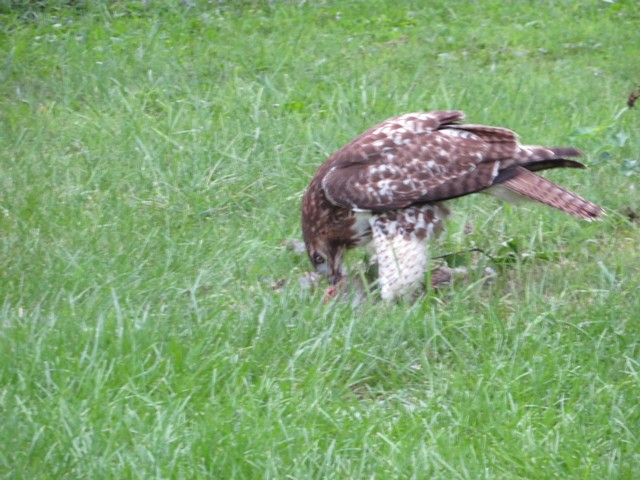 Click image for larger version.  Name:Local Hawk Eating 0907 2018 10.jpg Views:39 Size:119.2 KB ID:202984