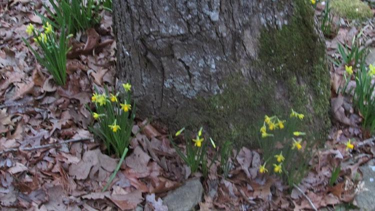 Click image for larger version.  Name:Daffodils in February.jpg Views:1 Size:217.8 KB ID:224656