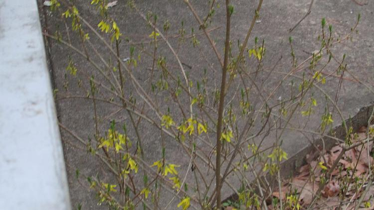 Click image for larger version.  Name:Forsythia in February.jpg Views:1 Size:184.4 KB ID:224657