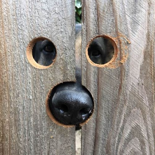 Last One To Post Wins [190]-peeking-penny-dog-fence-small.jpg