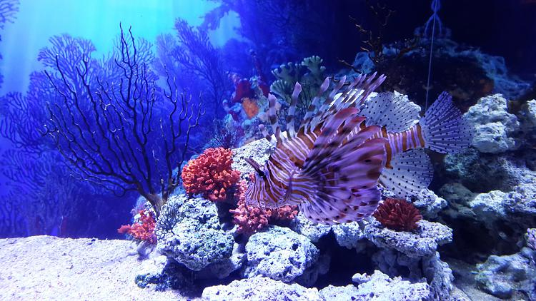 User created wallpapers-lion-fish-1920x1080.jpg
