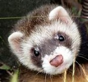 Click image for larger version.  Name:StarFerret.jpg Views:55 Size:14.5 KB ID:37772