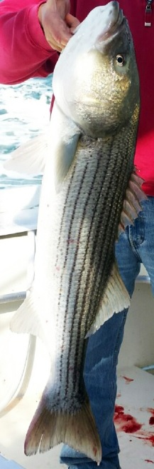 Click image for larger version.  Name:striped bass.jpg Views:71 Size:52.1 KB ID:7792