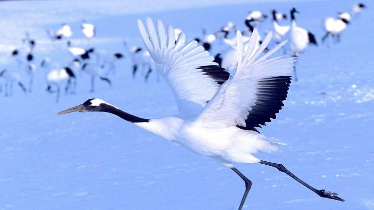 Click image for larger version.  Name:7776-red-crowned-crane-flying.jpg Views:80 Size:370.7 KB ID:7982