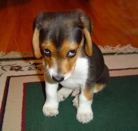 Click image for larger version.  Name:sad-little-beagle.jpg Views:23 Size:22.5 KB ID:88893